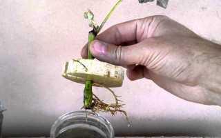 Способы размножения шелковицы