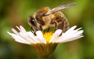 Почему пчелы стали вымирающим видом: причины, последствия и меры предотвращения