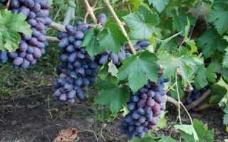 Байконур (виноград): характеристики, описание сорта и фото
