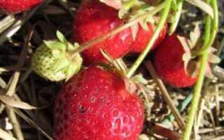 Клубника Соловушка: описание сорта, фото, отзывы
