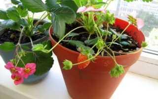 Клубника на балконе: выращивание пошагово, можно ли вырастить, ампельная клубника
