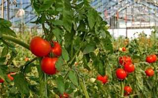Опрыскивание помидоров трихополом: от фитофторы и вредителей