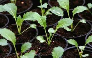Декоративная Капуста – выращивание из семян в домашних условиях