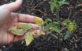 Рассада помидор: почему желтеют листья и плохо растёт, что делать