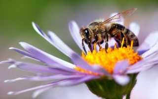 Ноземацид для пчел: инструкция