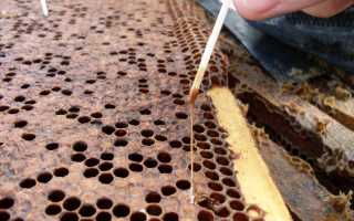 Гнилец у пчел: виды, лечение и профилактика