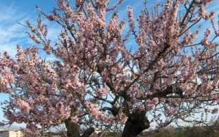 Дерево миндаль: посадка и уход в открытом грунте, цветение