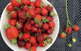 Клубника богота: описание сорта, характеристика ягод, выращивание и отзывы
