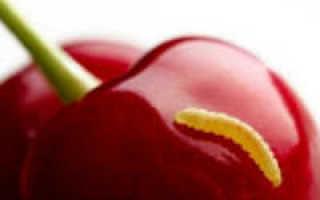 Как убрать червяков из вишни (очистить от червей собранные ягоды)