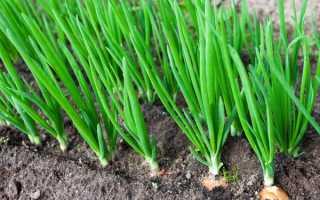 Выращивание лука: как правильно вырастить репчатый лук из севка крупным, агротехника