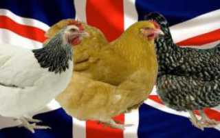 Суссекс (порода кур): особенности, характеристика и описание