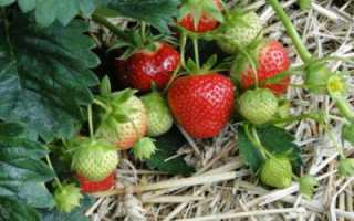 Клубника Гирлянда: описание сорта, выращивание, уход