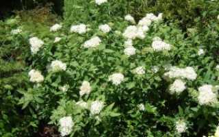 Спирея японская Широбана: характеристики, благоприятные условия для роста и основное назначение растения