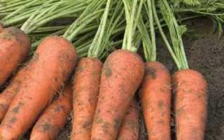 Морковь Купар F1: описание, фото, отзывы