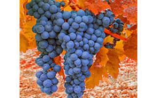 Посадка винограда осенью саженцами и черенками