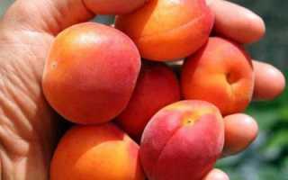 Саратовский рубин — абрикос: описание сорта, характеристики, отзывы