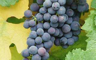 Виноград — Альфа: описание сорта, фото, отзывы