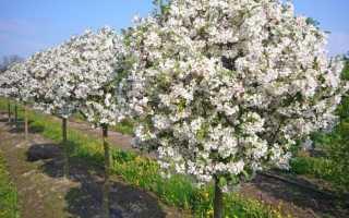 Карликовые яблони: лучшие сорта, фото, отзывы
