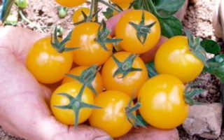 Томат Золотой дождик: характеристика и описание сорта, урожайность, фото, отзывы