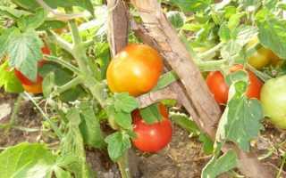 Томат Бетта: описание и характеристика сорта, выращивание и уход