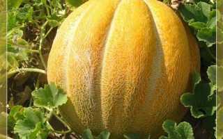 Дыня Эфиопка: описание сорта, выращивание и уход