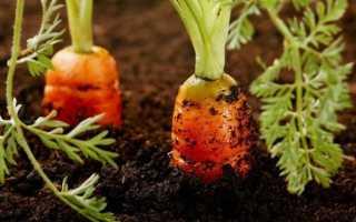 Морковь Император: описание, фото, отзывы