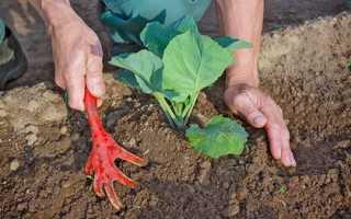 Посадка капусты в грунт рассадой: когда и как правильно высаживать