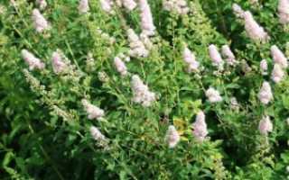 Спирея Иволистная: описание, посадка и уход, фото