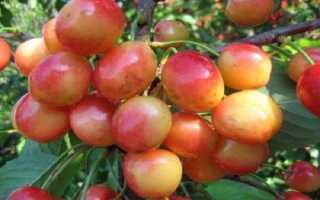 Черешня — Брянская розовая: описание сорта, фото, отзывы