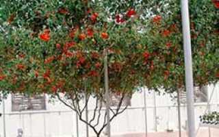 Томатное (помидорное) дерево спрут f1: выращивание в теплице, посадка и уход отзывы и фото — eТеплица