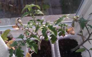 Сохнут листья у рассады томатов
