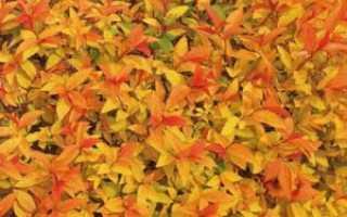 Спирея японская Голдфлейм (Spiraea japonica Goldflame)