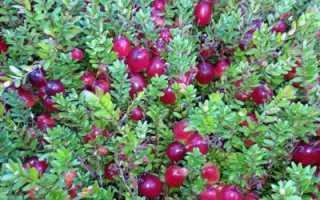 Брусника и клюква: отличия и полезные свойства