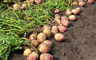 Проволочник в картошке — как избавиться от опасного вредителя видео