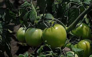 Борьба с фитофторой томатов в открытом грунте — Популярно о здоровье