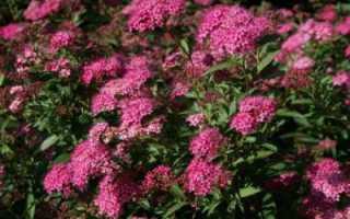 Спирея Бумальда – эффектный кустарник