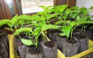 Выращивание рассады томатов в пеленках по методу Галины Кизимы