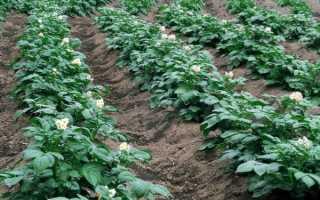 Посадка картофеля в гребни: плюсы и минусы, как садить, как сделать грядки, нарезка гребней