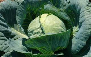 Сорт капусты Тобия (F1): фото, отзывы, описание, характеристики