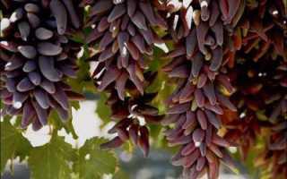 Виноград ведьмины пальцы — один из самых необычных и эффектных сортов