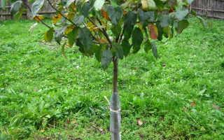 Как правильно укрыть колоновидную яблоню на зиму