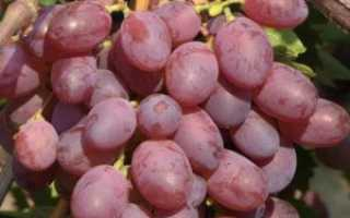 Виноград Виктория — описание сорта с фото, отзывы, посадка и уход
