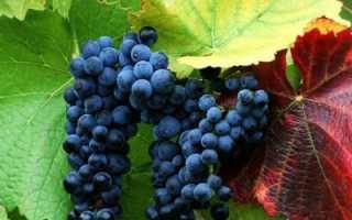 Виноград Загадка Шарова: описание и отзывы