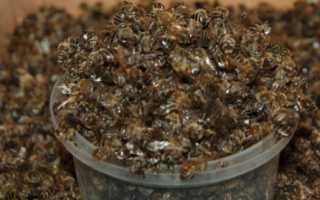Пчелиный подмор: настойка на водке и спирту, при каких заболеваниях принимать, рецепты