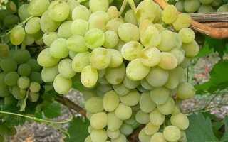 Описание сорта винограда Фрумоаса Албэ
