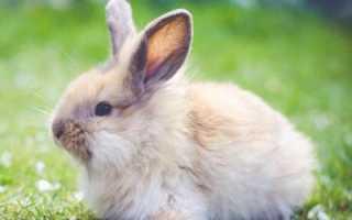 Чем можно кормить декоративных кроликов: особенности ухода и содержания, рацион питания, фото