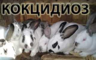Кокцидиоз у кроликов: лечение, профилактика, симптомы, препараты