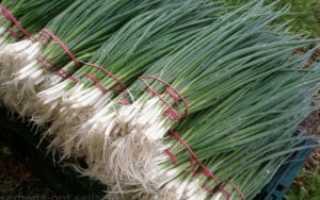 Когда выкапывать репчатый лук: сроки уборки с грядок на хранение