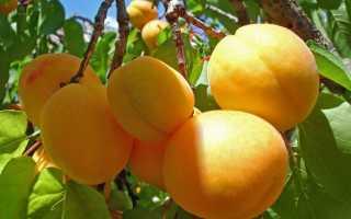 Об абрикосе Алеша: описание и характеристики сорта, посадка, уход, выращивание