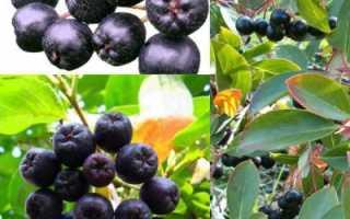 Кизильник черноплодный: описание и полезные свойства